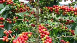 Más de tres millones de quintales de café anuales se producen en Venezuela 260x146 - Más de tres millones de quintales de café anuales se producen en Venezuela