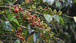 Productores de café tendrán nuevos incentivos 260x146 - Productores de café tendrán nuevos incentivos