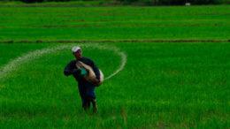 Venezuela siembra arroz con tecnología vietnamita 260x146 - Venezuela siembra arroz con tecnología vietnamita
