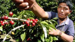 Recolectores de café costarricenses tendrán seguro social 260x146 - Recolectores de café costarricenses tendrán seguro social